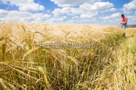 sunny rural barley crop field in