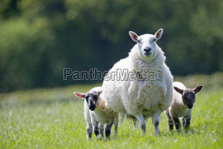 portrait sheep and lambs in sunny