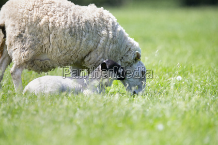 sheep and lamb in sunny green