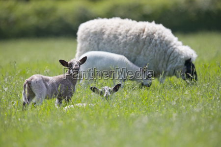 sheep and lambs grazing in sunny