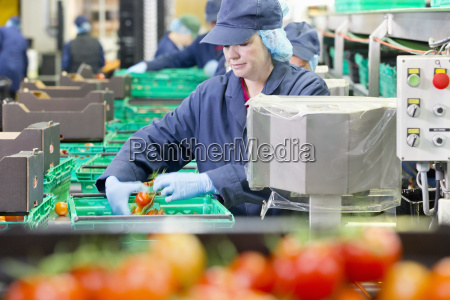 quality control worker checking tomatoes at