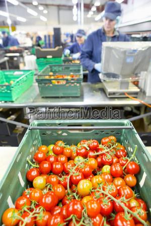 ripe red vine tomatoes in bin