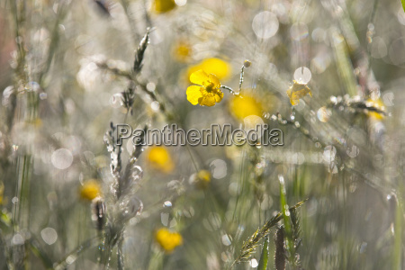 sunny and dewy yellow buttercup wildflowers