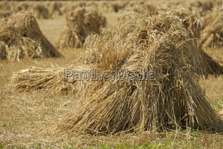 wheat crop arranged in bundles in