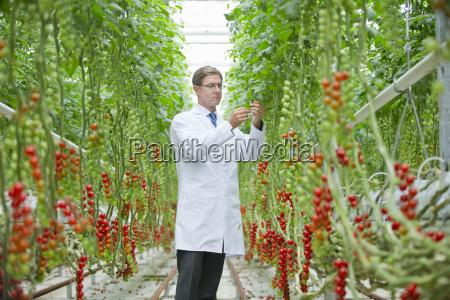 food scientist examining vine tomato plants