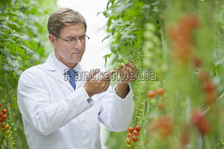 focused food scientist examining vine tomato