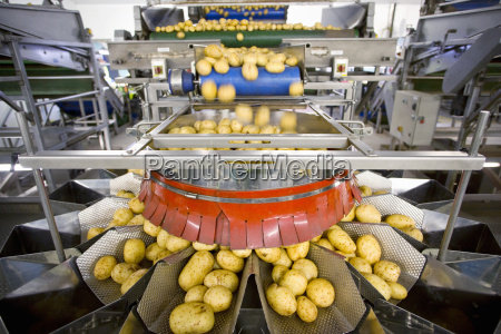 potato sorting machine on production line