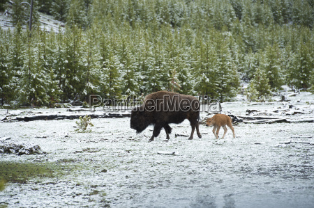 a bison and its young in