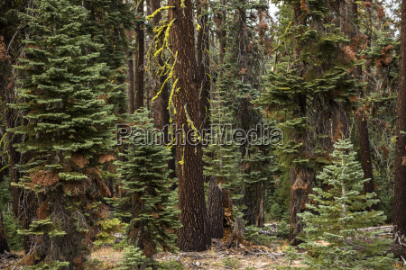 trees in the forset in yosemite