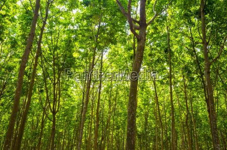gummibaeume hevea brasiliensis auf gummiplantage buon