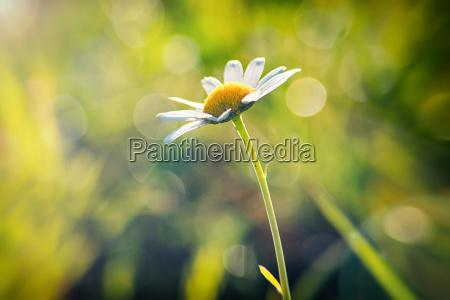 fruehling gaensebluemchen