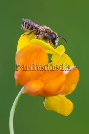 europaeische honigbiene