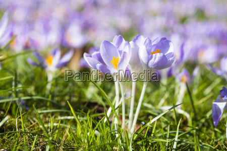 close up of tomasinis crocus crocus