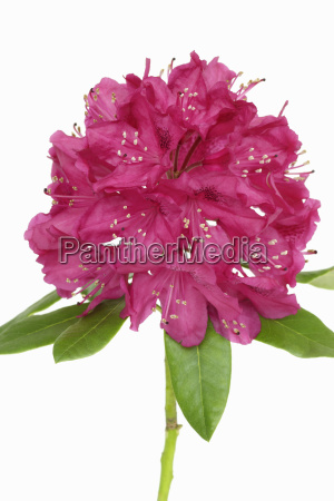 close up of rhododendron studio shot