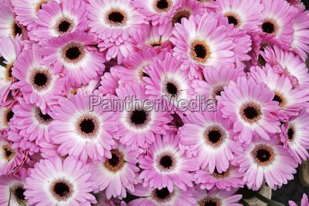 close up of gerbera daisies at