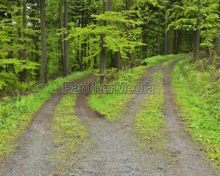 forked road in forest in spring