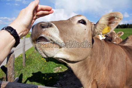 eine kuh will die hand einer