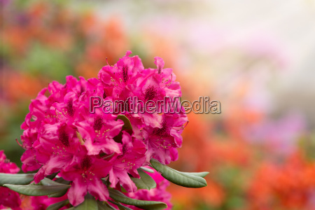 rosa azaleen blueht mit kleinen immergruenen