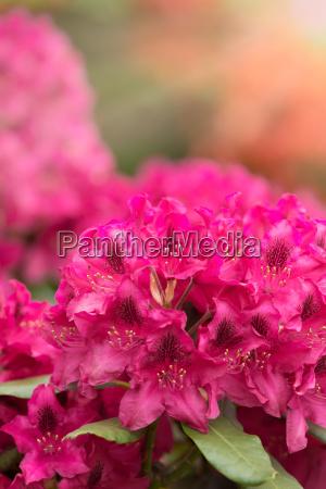 rosa azaleen bluehen mit kleinen immergruenen