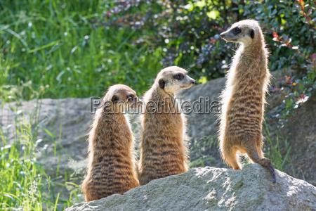 dreifaltigkeit meerkats auf einem felsen