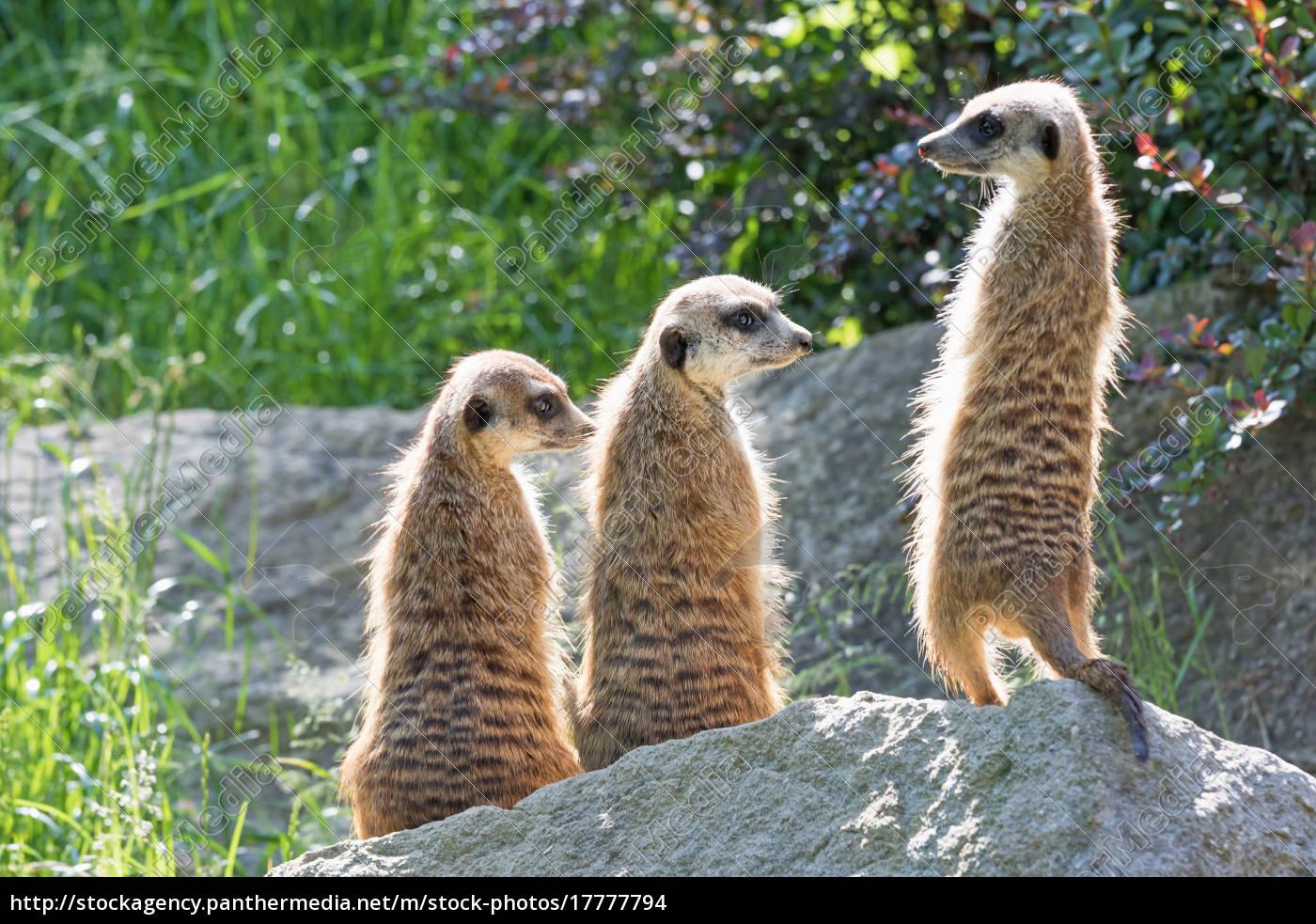 dreifaltigkeit, meerkats, auf, einem, felsen - 17777794