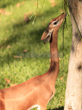 southern gerenuk litocranius walleri essen verlaesst