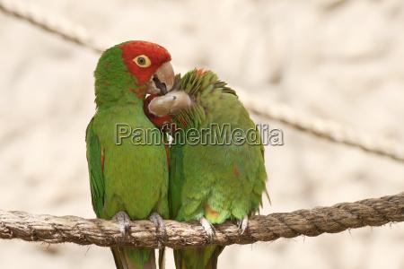 kissing papageien auf einem seil