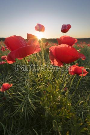 poppy field im sunny morgen
