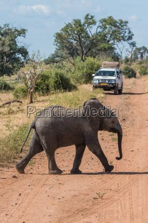 junger elefant ueberquert schotter vor dem