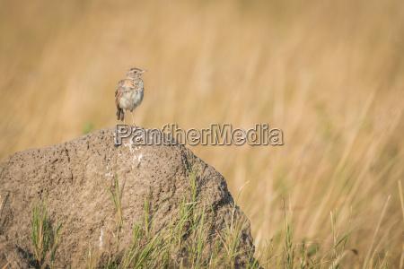 vogel braun braeunlich bruenett afrika tiere