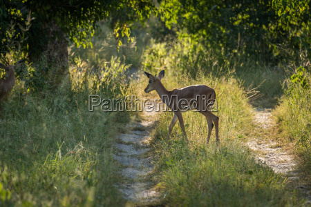 weibliche impala crossing track in dappled