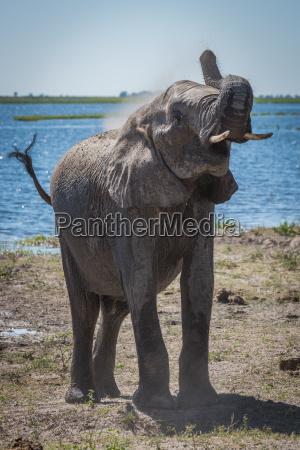 elephant werfen staub ueber die schulter