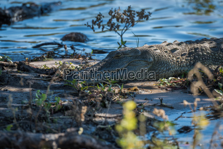 close up of nile crocodile on