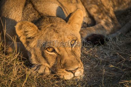 close up of sleepy lion staring