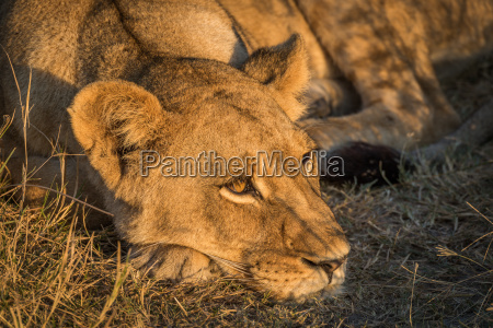 close up of lion head in