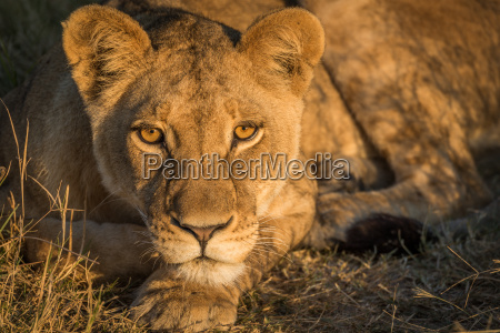 close up of lion staring in
