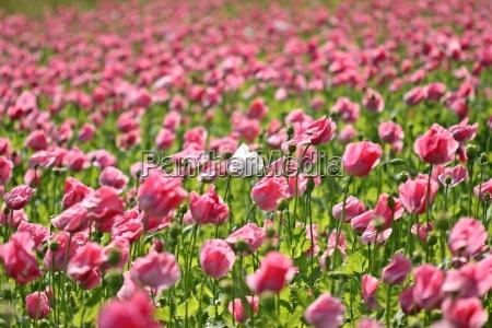 weisse mohnbluete zwischen vielen rosa schlafmohnblueten