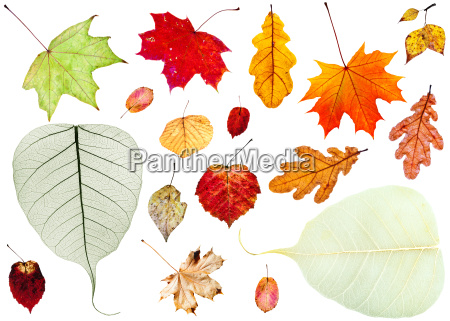 set of dried autumn leaves isolated