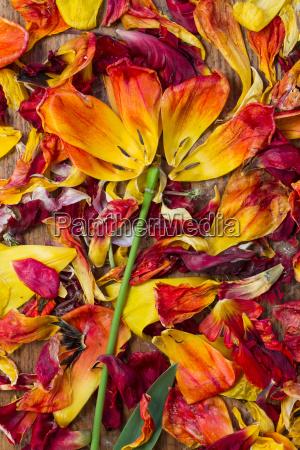 als blume arrangierte bluetenblaetter von tulpen