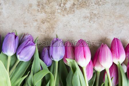 rosa und lila tulpen