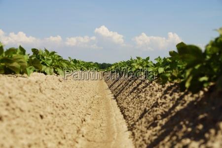 kartoffelpflanzen in einem feld