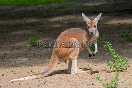 kangaroo in the clearing