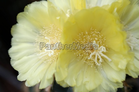flowering notokaktus notocactus spec