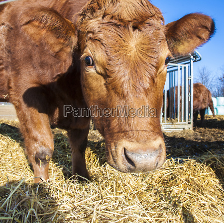 friendly cattle on straw with blue