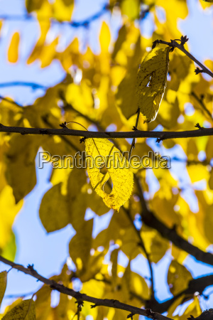 cherry tree leaves under blue sky