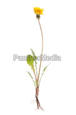 ganze loewenzahn pflanze