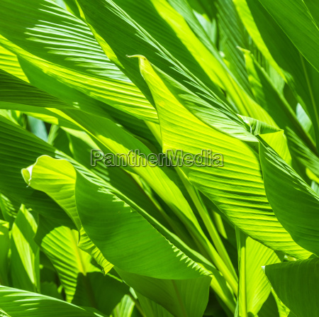 green reed grass in the garden