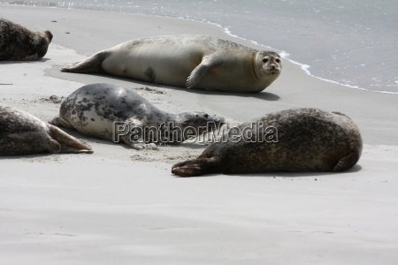 Kegelrobben, Robben, Säugetier, Nordsee, Tiere, Strand - 17982610