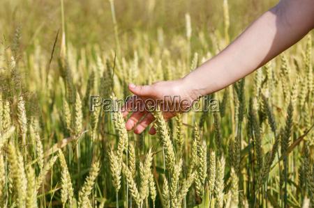 hand und ohren von getreide