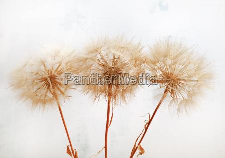 flora trocken ausgedorrt trocknen kraut pflanzenwelt